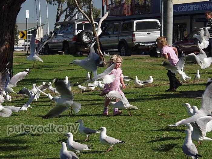 Дети и чайки Австралии