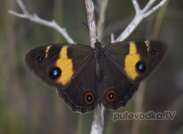 Бархатница или Сатир Мискантус (Tisiphone abeona) семейства Nymphalidae