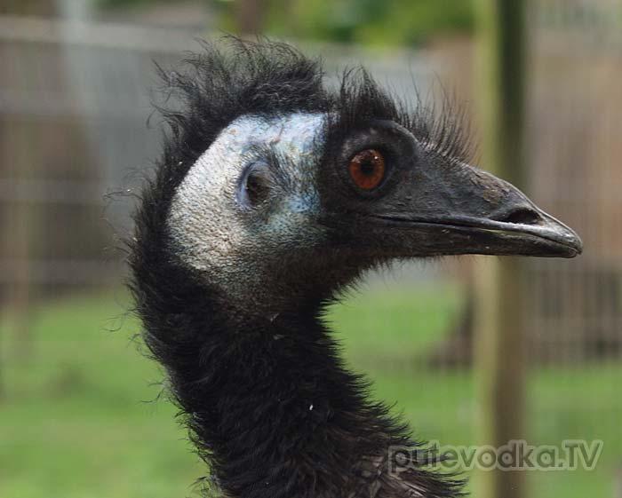 Эму (Dromaius novaehollandiae), семейство птиц отряда казуарообразных, представленное в настоящее время единственным видом. Ранее эму относили к страусообразным (классификация пересмотрена в 80-е годы прошлого века).