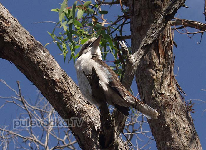 Кукабарра, или Смеющийся зимородок (Dacelo novaeguineae)