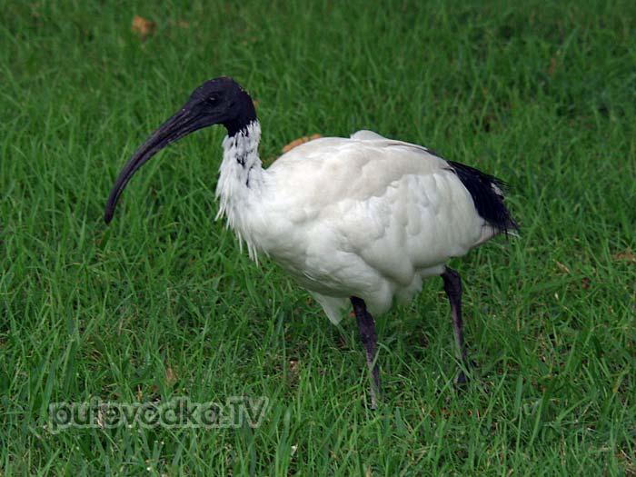 Австралийский белый ибис (Threskiornis molucca)