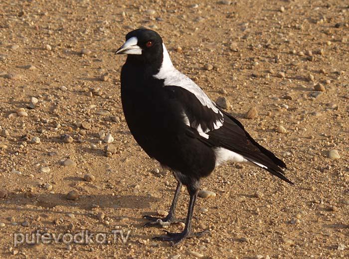 Австралийская сорока (Cracticus tibicen), она же— Ворона-свистун (Gymnorhina tibicen)