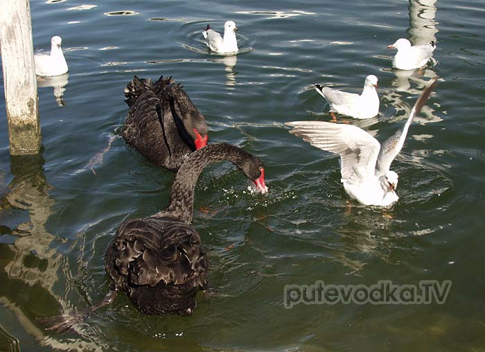 Австралия— страна лебедей. Чёрный лебедь(Cygnus atratus).