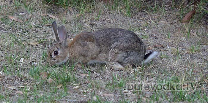 Дикий или европейский кролик (Oryctolagus cuniculus)