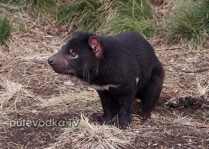 Тасманийский дьявол (Sarcophilus harrisi)