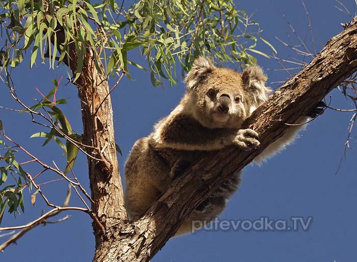 О. Рэймонд. Сонный мишка коала