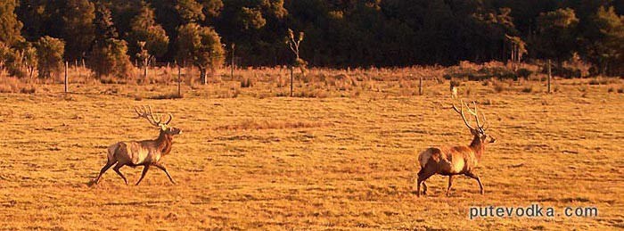 Новозеландская оленья ферма