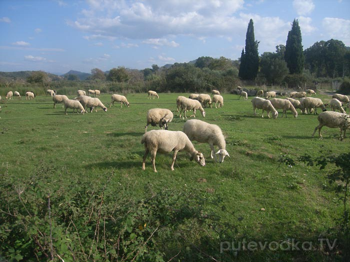 Олимпийские овцы