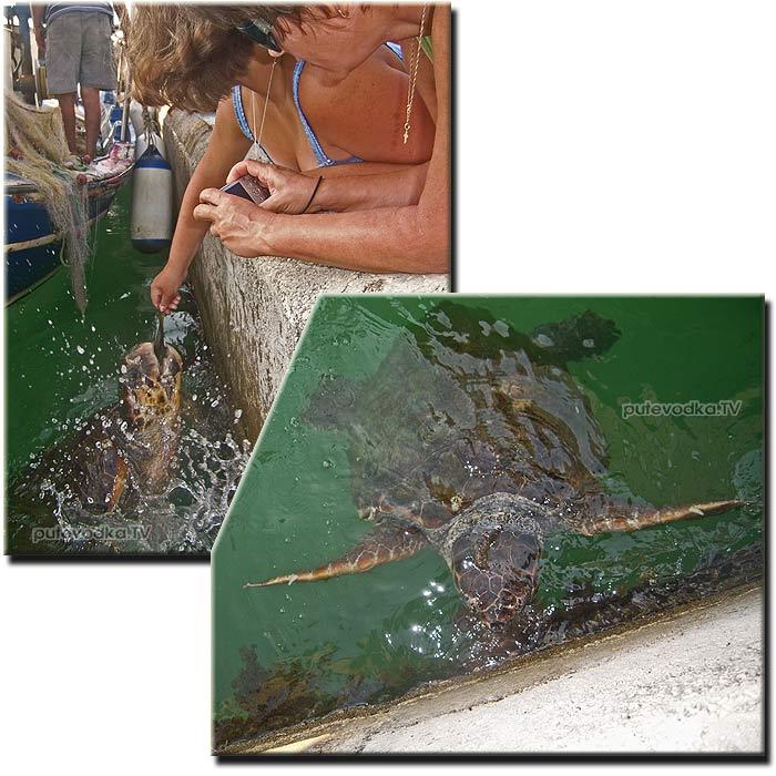 Морские черепахи Аргостоли