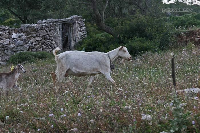 Полудикие козы
