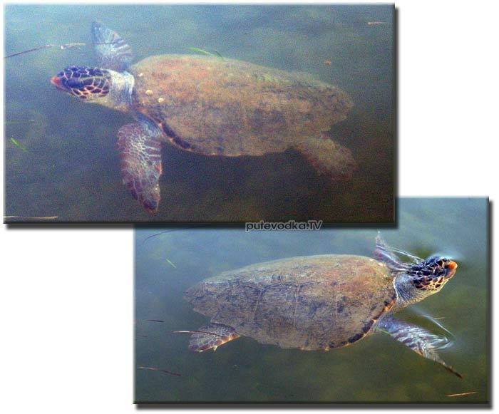 Головастая морская черепаха Каретта каретта (Caretta caretta), она же Логгерхед. Обитает в Средиземном море, Атлантическом, Тихом и Индийским океанах. Была замечена даже под Мурманском.