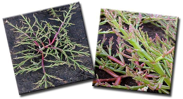 Солерос европейский (Salicornia europaea) — вид однолетних растений  из рода Солерос семейства Амарантовые (Amaranthaceae)