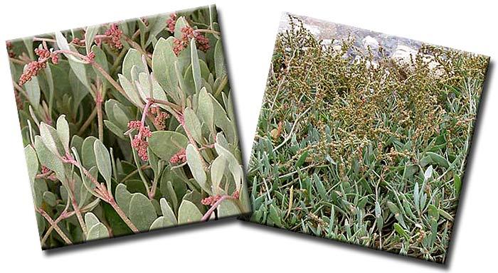 Халимион портулаковидный, Лебеда портулаковидная (Halimione  portulacoides)— семейство Маревые (Chenopodiaceae)