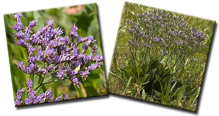 Кермек обыкновенный или Морская лаванда (Limonium vulgare)— семейство Свинчатковые  (Plumbaginaceae)
