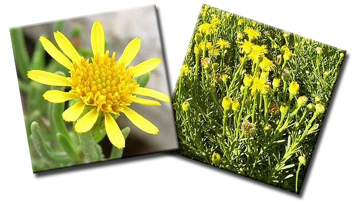 Девясил критмовидный (Limbarda crithmoides, он же Inula crithmoides)— семейство Астровые  (Asteraceae)