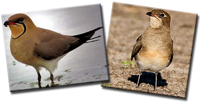 Луговая тиркушка (Glareola pratincola) — птица семейства тиркушковых  (Glareolidae)