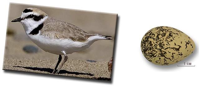 Морской зуёк (Charadrius alexandrinus) — птица рода зуйки (Charadrius) из семейства ржанковых (Charadriidae)