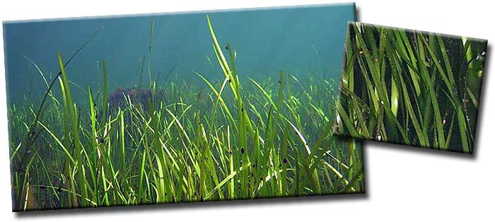 Взморник, или Зостера, или Морская трава (Zostera) — род многолетних морских трав семейства Взморниковые (Zosteraceae )