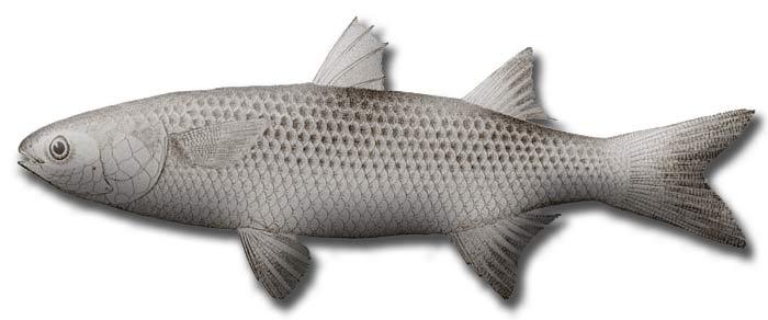 Серая кефаль (Mugil) — род морских рыб из отряда кефалеобразных (Mugiliformes). В настоящее время в составе рода насчитывают 17 видов.