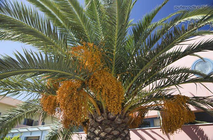 Остров Лефкас. Природа. Флора. Финик канарский или Финиковая пальма канарская (Phoenix canariensis), семейство Пальмовые или Пальмы (Arecaceae).