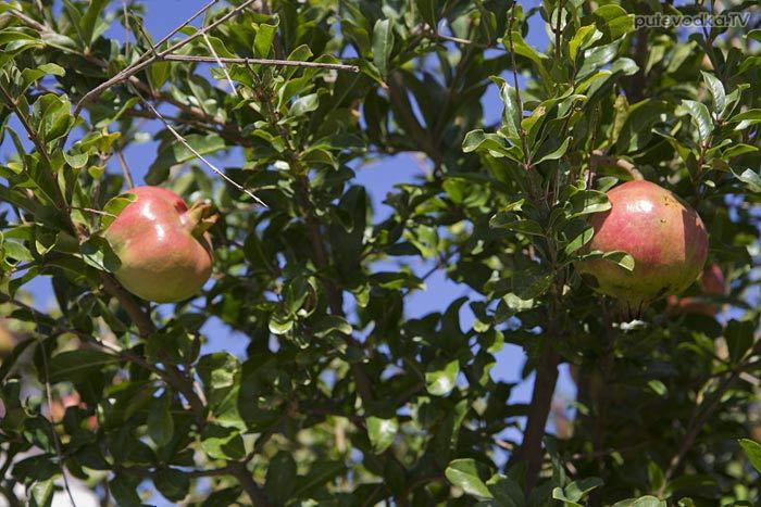 Остров Лефкас. Природа. Флора. Гранат обыкновенный (Punica granatum) — вид растений из рода Гранат семейства Дербенниковые (Lythraceae).