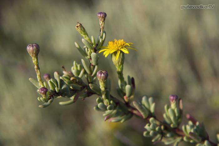 Остров Лефкас. Природа. Флора. Девясил критмовидный (Limbarda crithmoides, он же Lnula crithmoides) — семейство Астровые (Asteraceae).