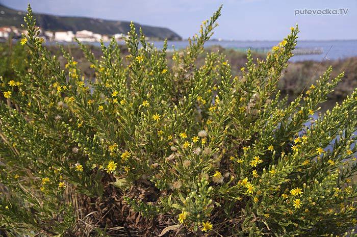 Остров Лефкас. Природа. Флора. Диттрихия клейкая или Девясил липкий (Dittrichia viscosa), семейство Астровые (Asteraceae).