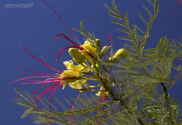 Цезальпиния Джиллиса (Caesalpinia gilliesii), семейство Бобовые (Fabaceae).