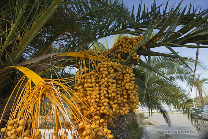 Финик канарский или Финиковая пальма канарская (Phoenix canariensis),  семейство Пальмовые или Пальмы (Arecaceae).