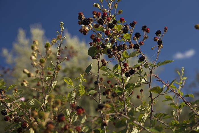 Ежевика вязолистная (Rubus ulmifolius Schott), семейство Розоцветные (Rosaceae).