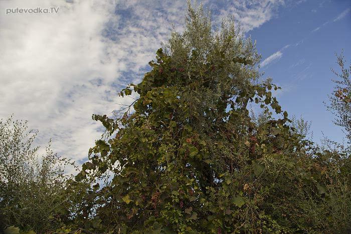 Одичавший виноград. Виноград (Vitis) — род растений семейства Виноградовые (Vitaceae).
