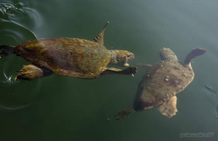 Греция. Ионическое море. О-в Кефалония. Аргостоли. Черепахи Caretta Caretta (Логгерхед).