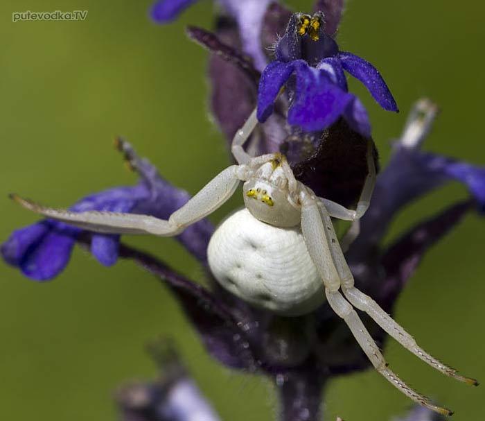 Цветочный паук (Misumena vatia)