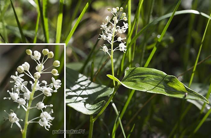 Майник двулистный (Maianthemum bifolium)