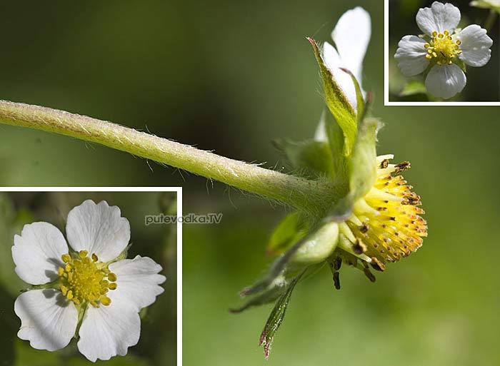 Земляника лесная (Fragaria vesca)