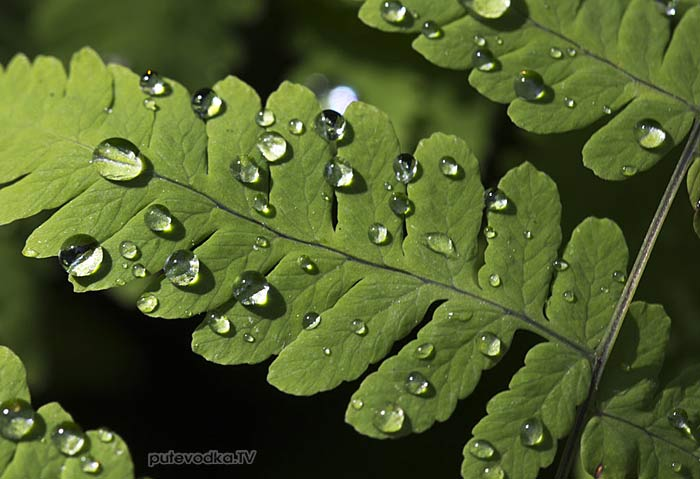 Голокучник обыкновенный (Gymnocarpium dryopteris)