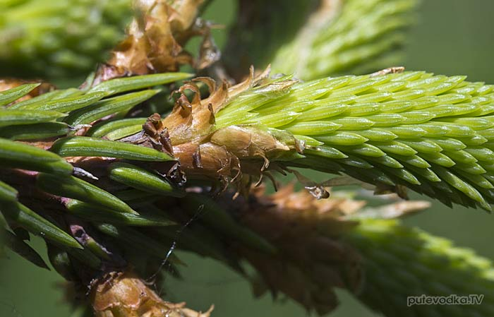 Ель европейская (Picea abies)