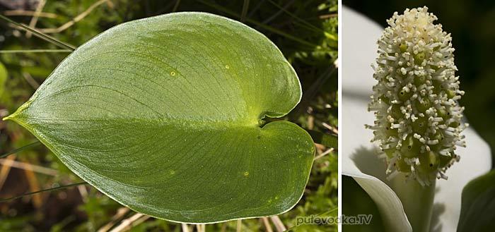Белокрыльник болотный (Calla palustris)