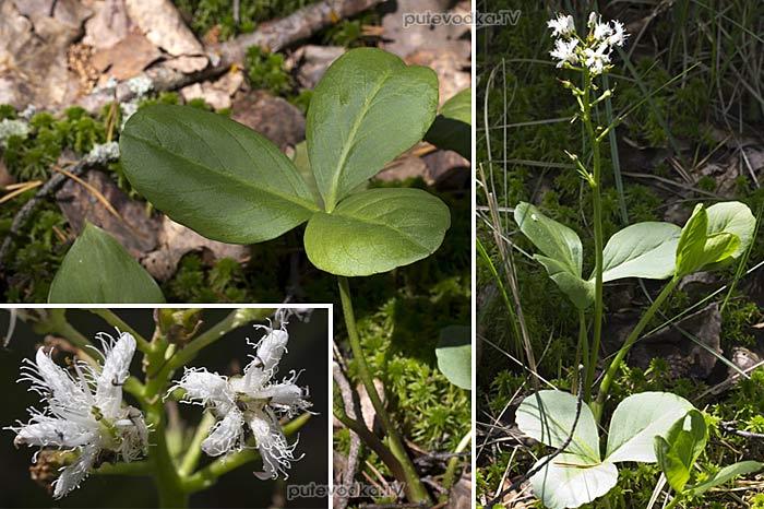 Вахта трёхлистная (Menyanthes trifoliata)