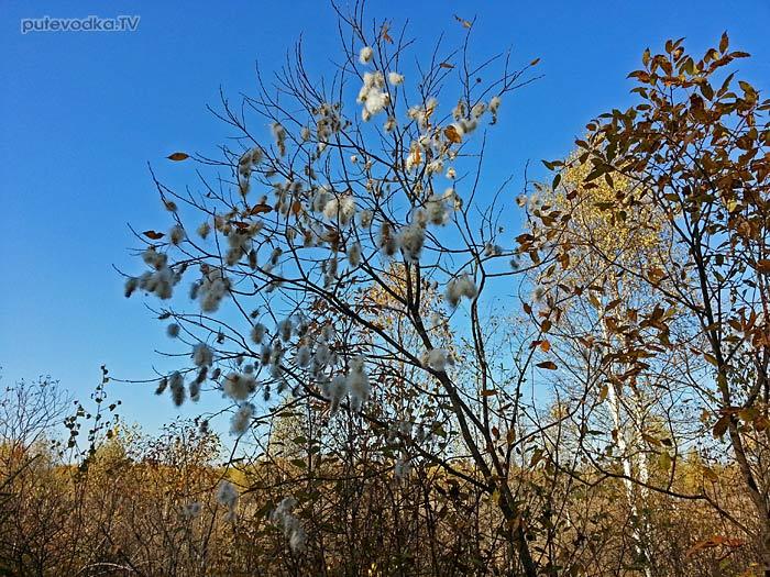 Пушистые сережки-соплодия ивы