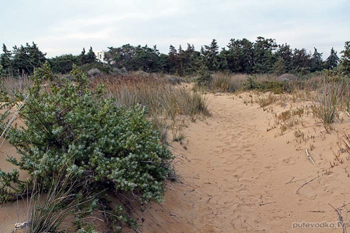 Греция. о. Парос. Дюны. Можжевельник крупноплодный (Juniperus oxycedrus ssp. macrocarpa).