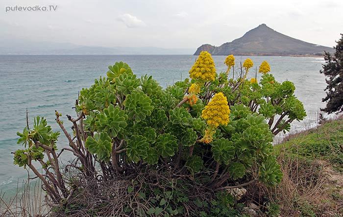 Греция. о. Парос. Эониум древовидный (Aeonium arboretum).