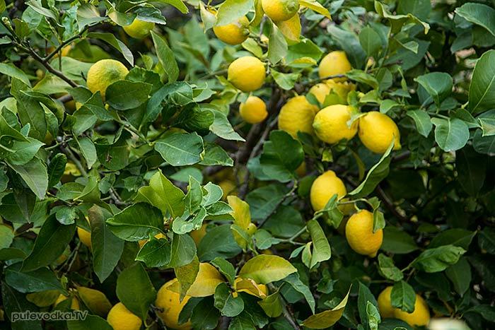 Греция. о. Парос. Лимон (Citrus limon).