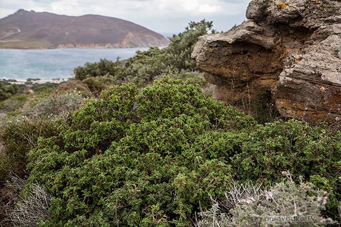 Ладанник критский (Cistus creticus)