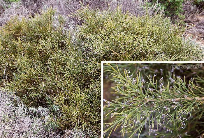Дрок колючеветвистый (Genista acanthoclada)