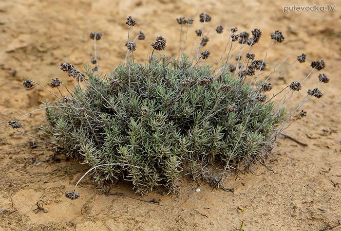 Цмин итальянский (Helichrysum italicum)