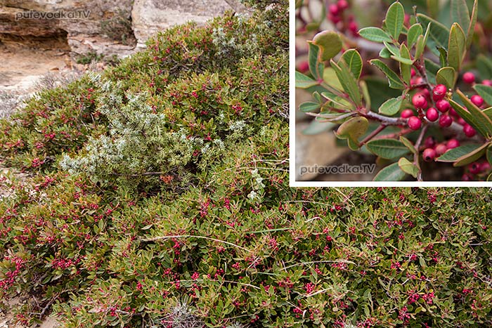 Фисташка мастичная (Pistacia lentiscus)