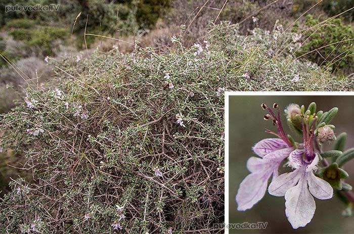Дубровник коротколистный (Teucrium brevifolium)