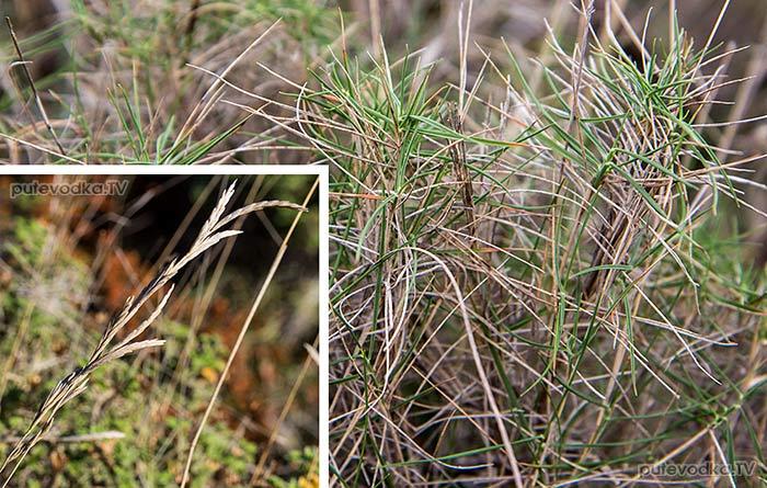 Коротконожка притуплённая (Brachypodium retusum)