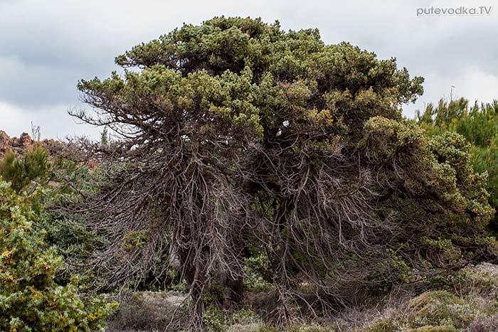 Можжевельник (Juniperus oxycedrus ssp. macrocarpa)